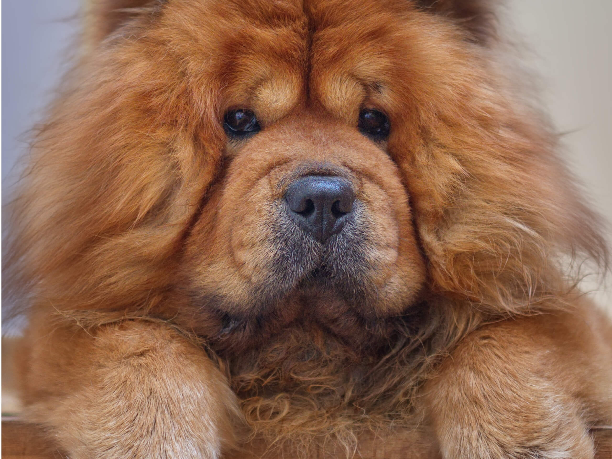 Chow chow looking at the camera with their paws in front.