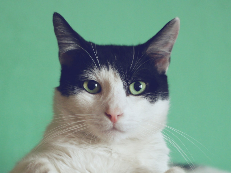 A cat sitting and looking into the camera in front of a green background.