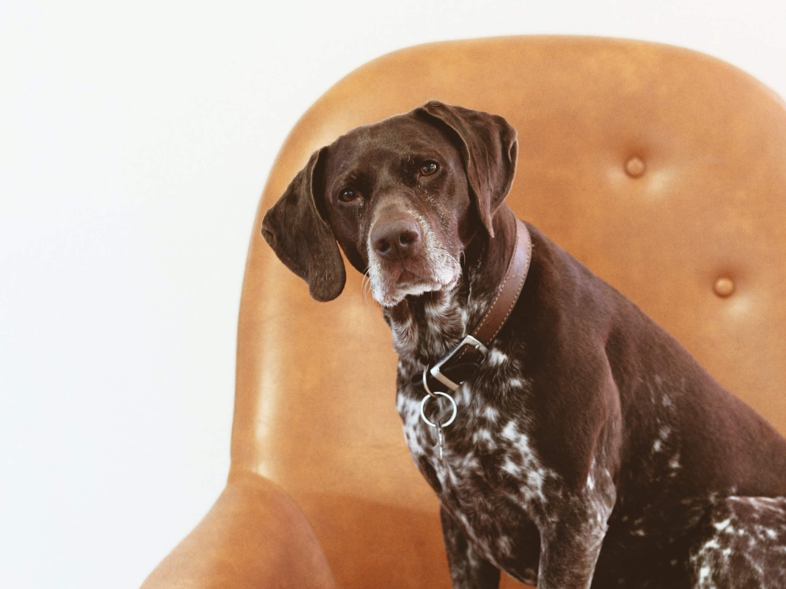 A brown and white mixed older dog sitting on a leather chair.