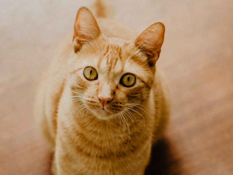 A an orange and white cat licking its lips in front of a pink background.