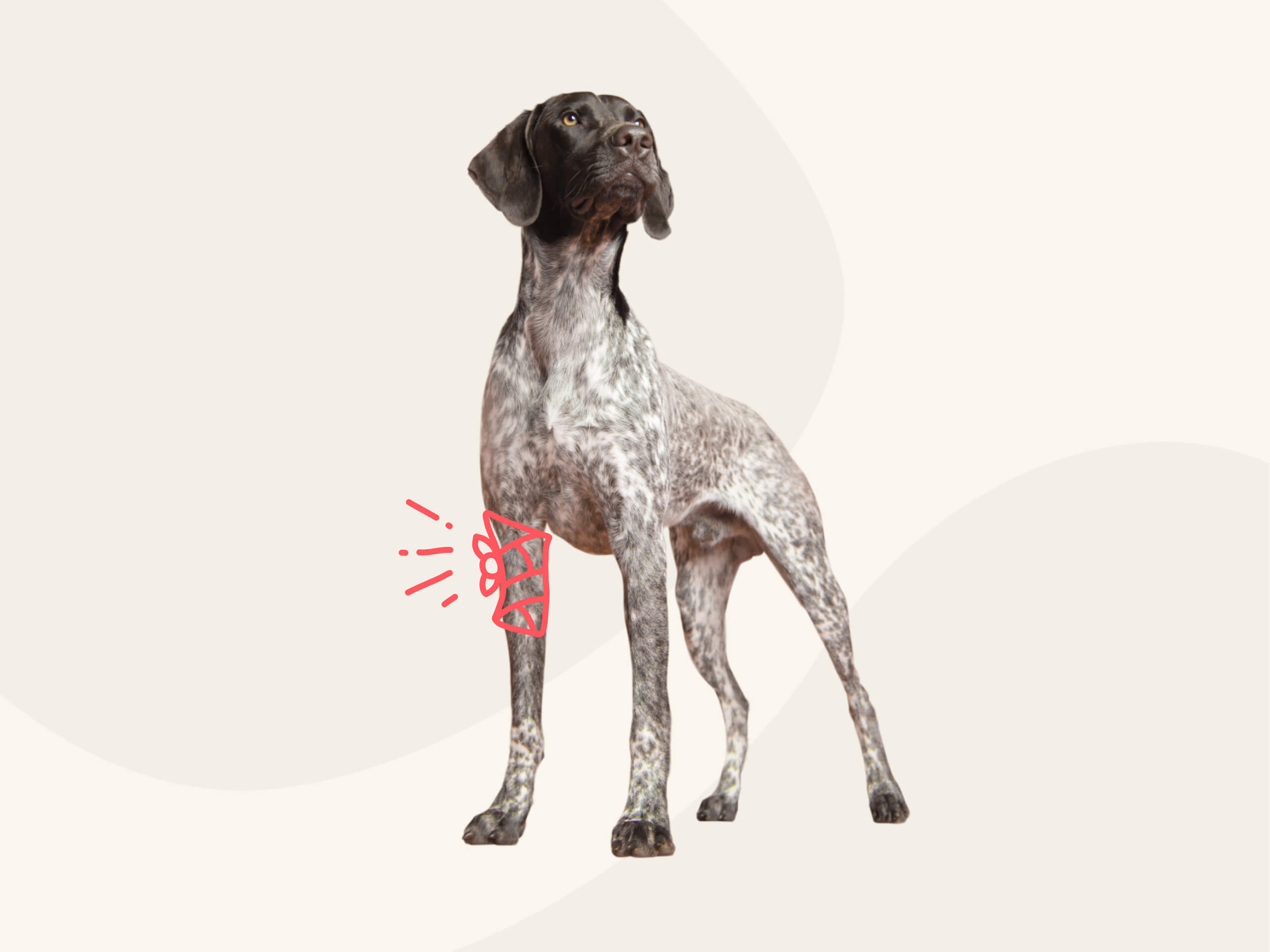 A German Short-Haired Pointer standing up on a pink background.