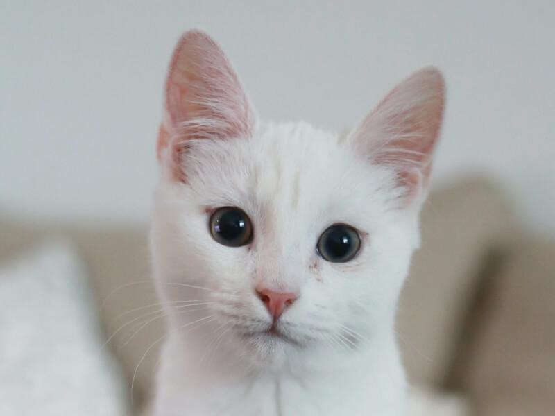 Little white kitten.