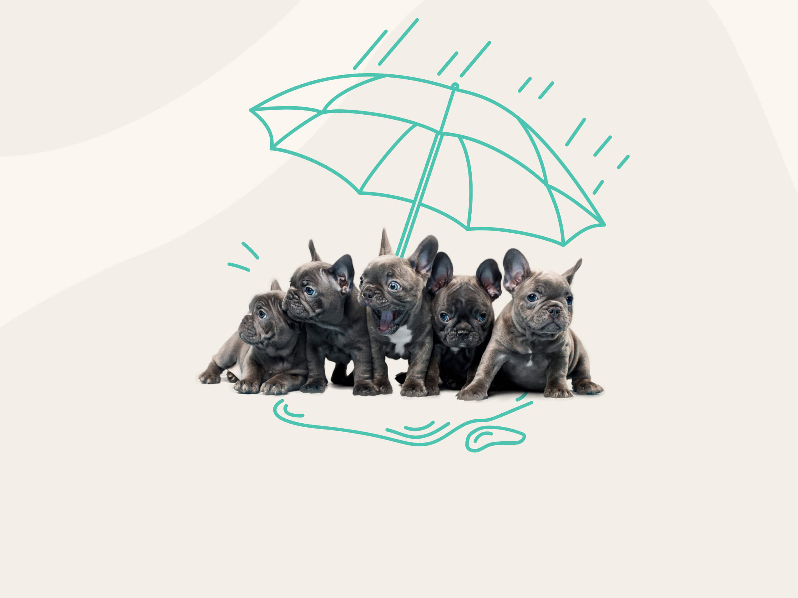 A group of French Bulldogs with an illustration of an umbrella over them.