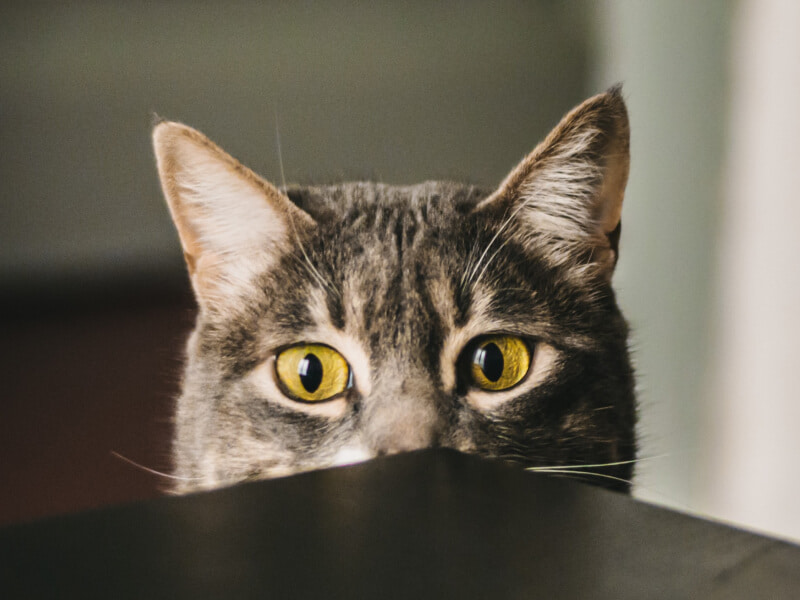 A grey cat starring at table edge.