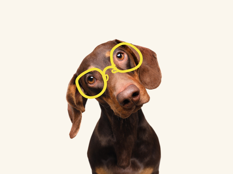 Confused hound dog wearing glasses and tilting his head