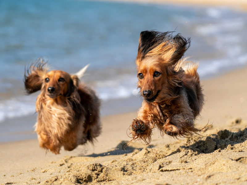 Two long-haired dachshunds running on the beach.