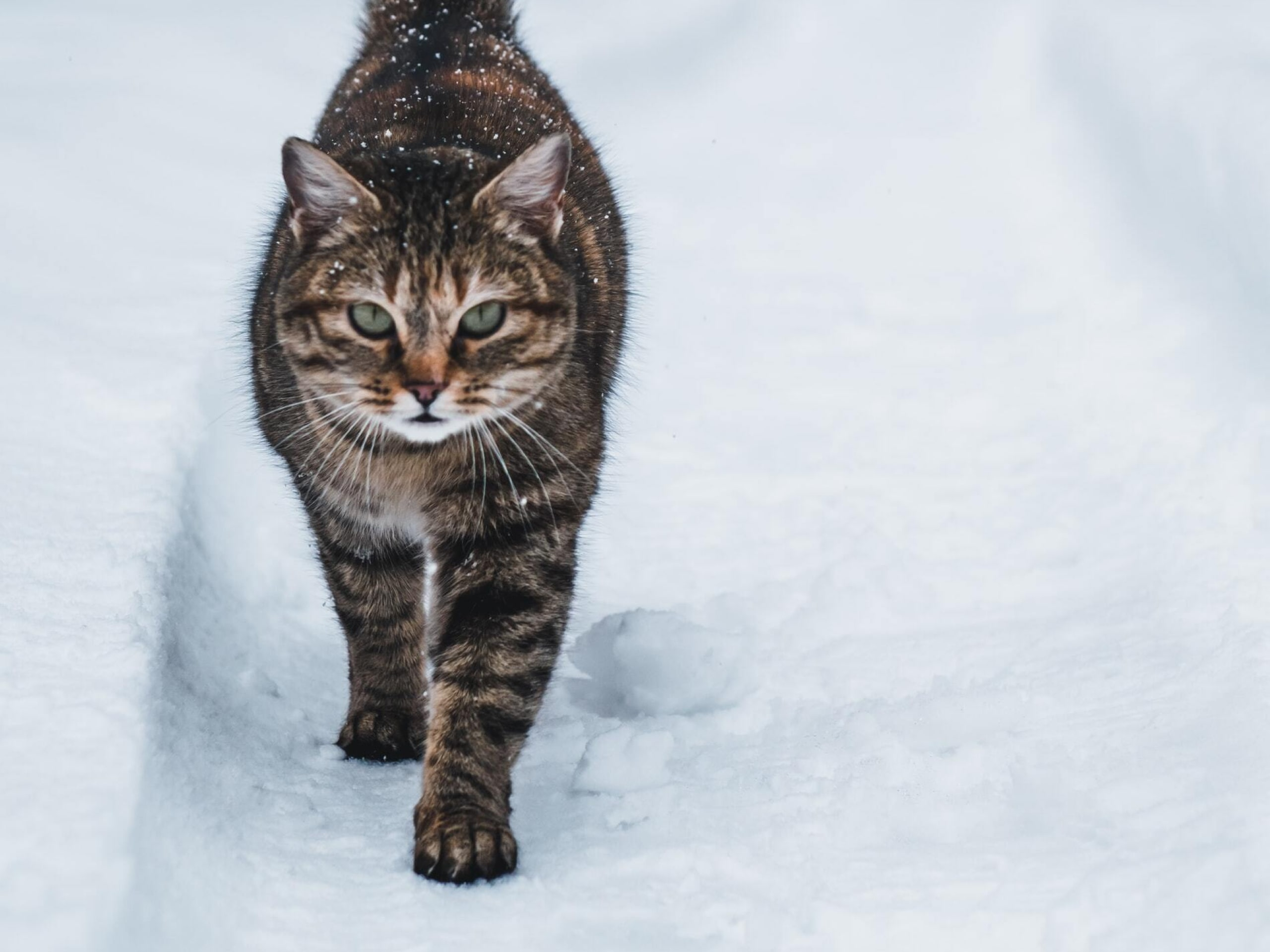 Brown cat with green eyes walking towards camera in the snow.