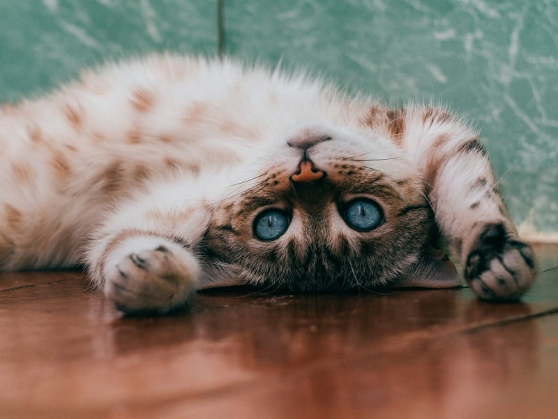 Brown cat with blue eyes laying on their back on the ground.