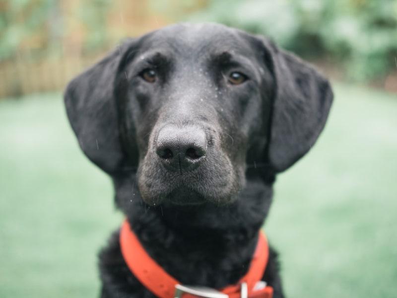 Black labrador retriever wearing a red collar in a backyard of grass.