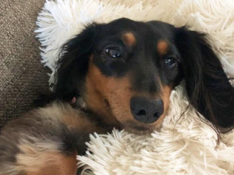 A brown and black dachshund looks into the camera.