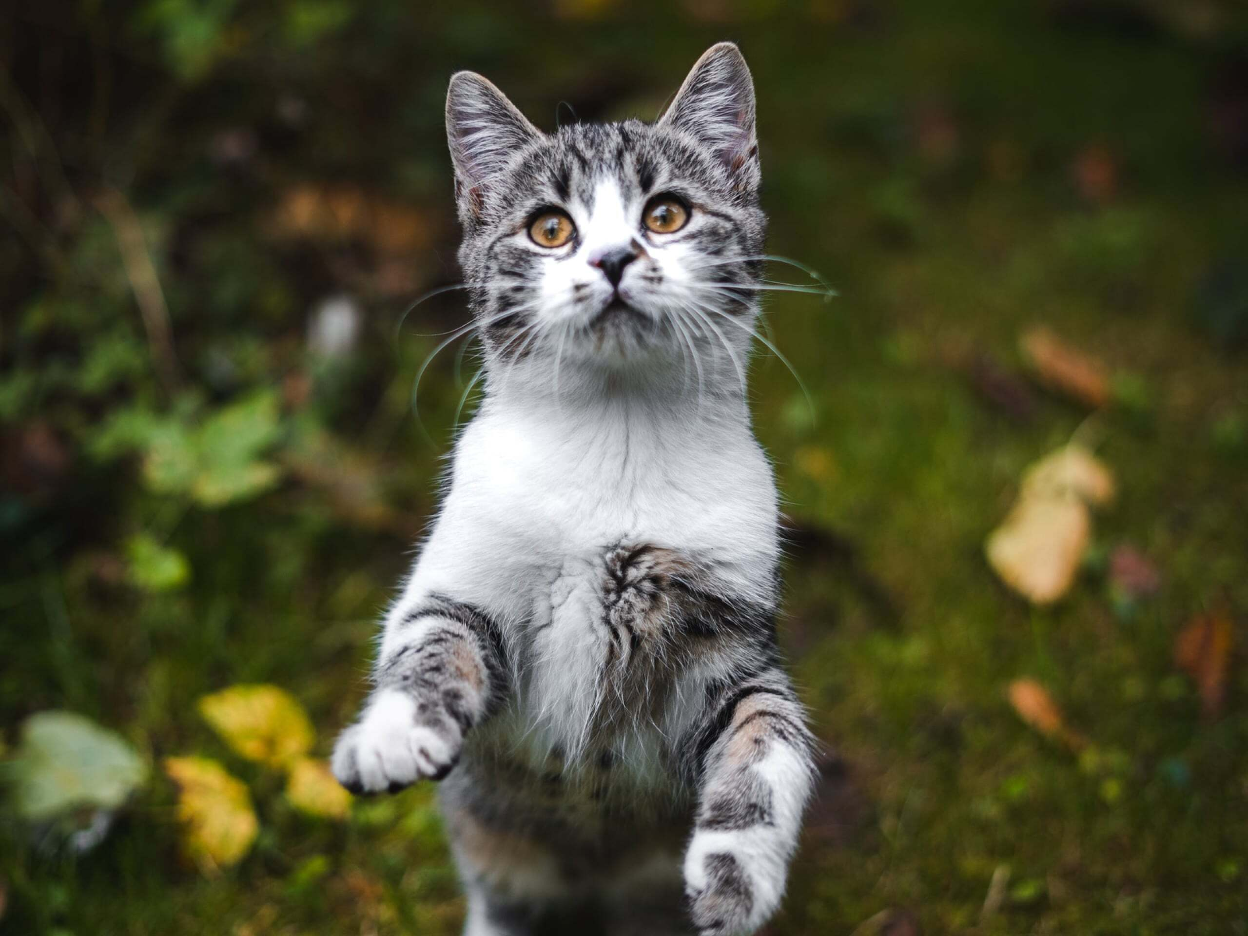 Grey and white cat standing in a grassy field about to swat the camera.