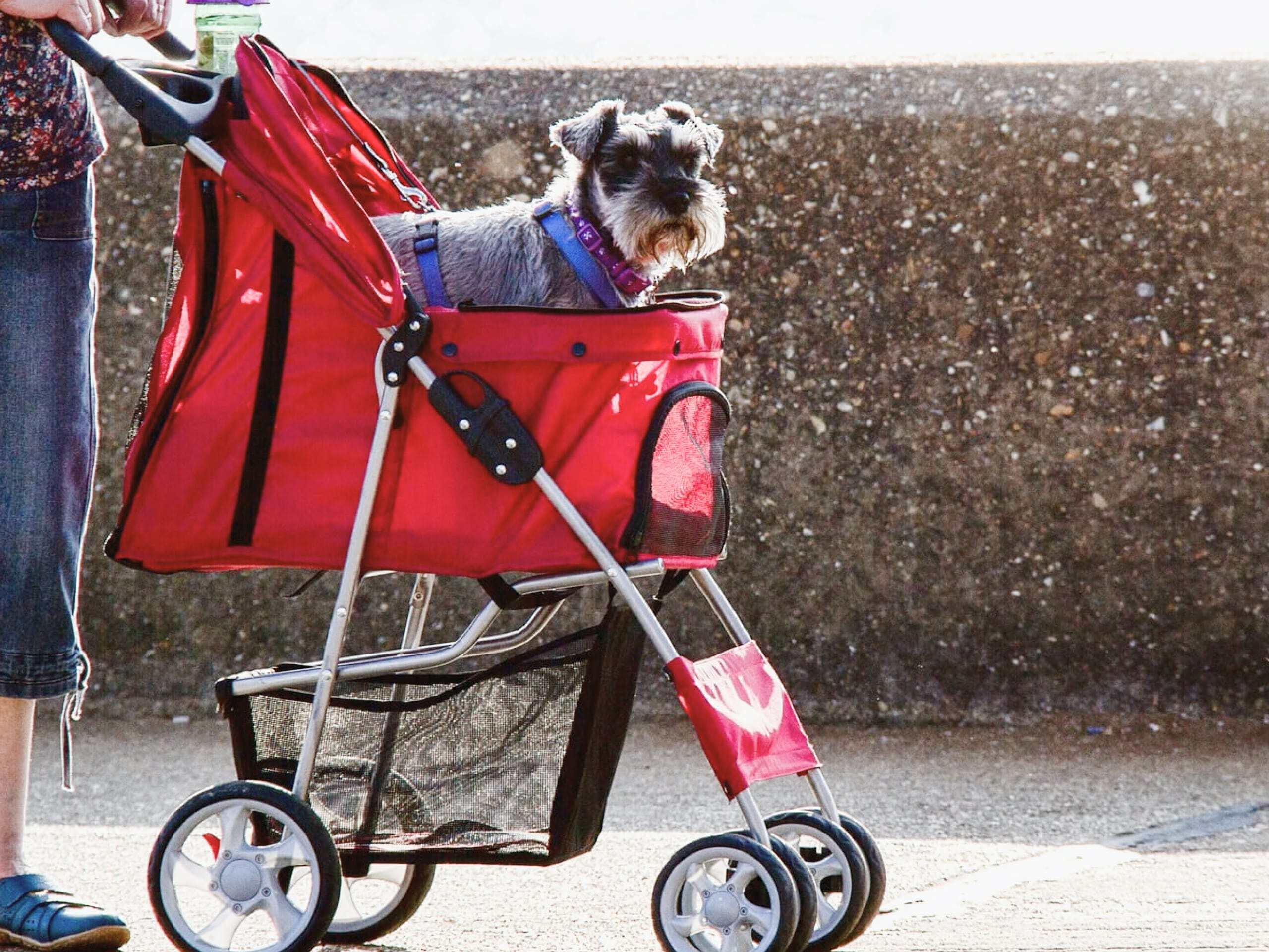 Dog sitting in a red stroller looking at the camera.