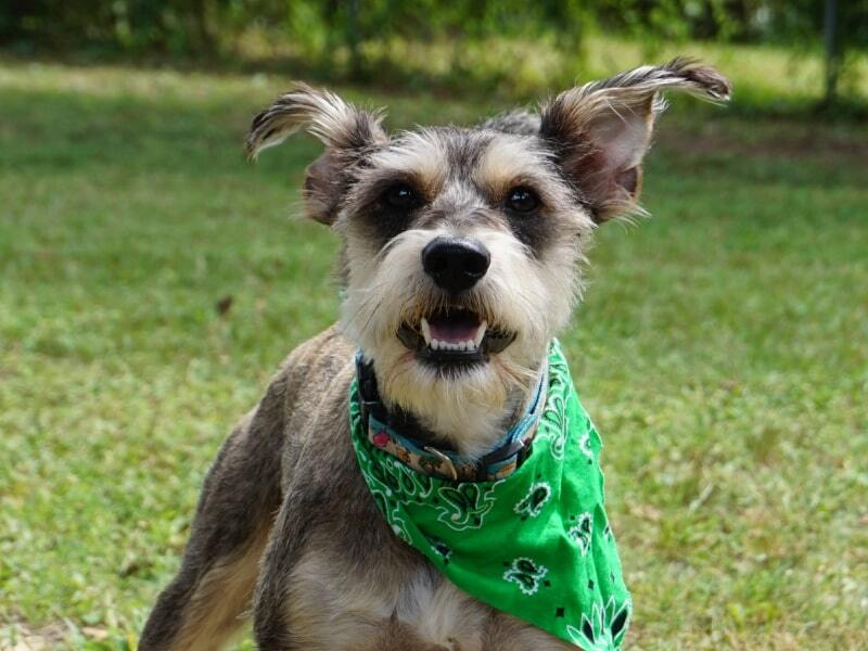 Grey and white dog wearing a green bandana and standing in the grass.