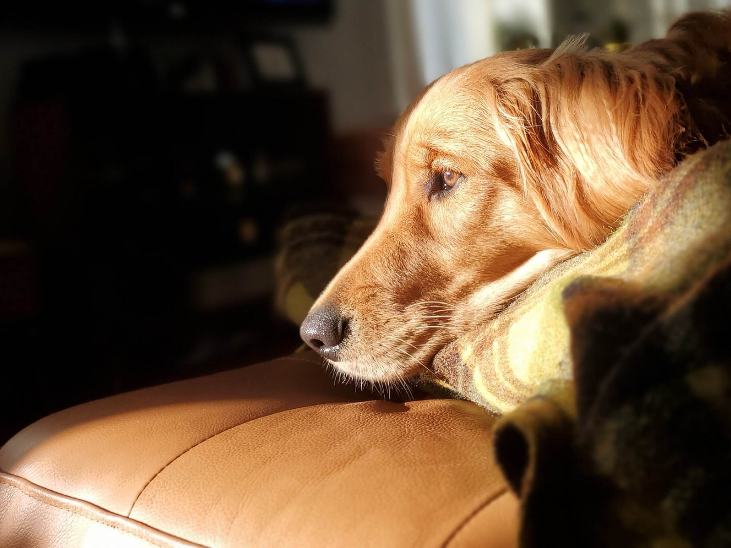 Golden retriever laying on the couch in front of a TV.