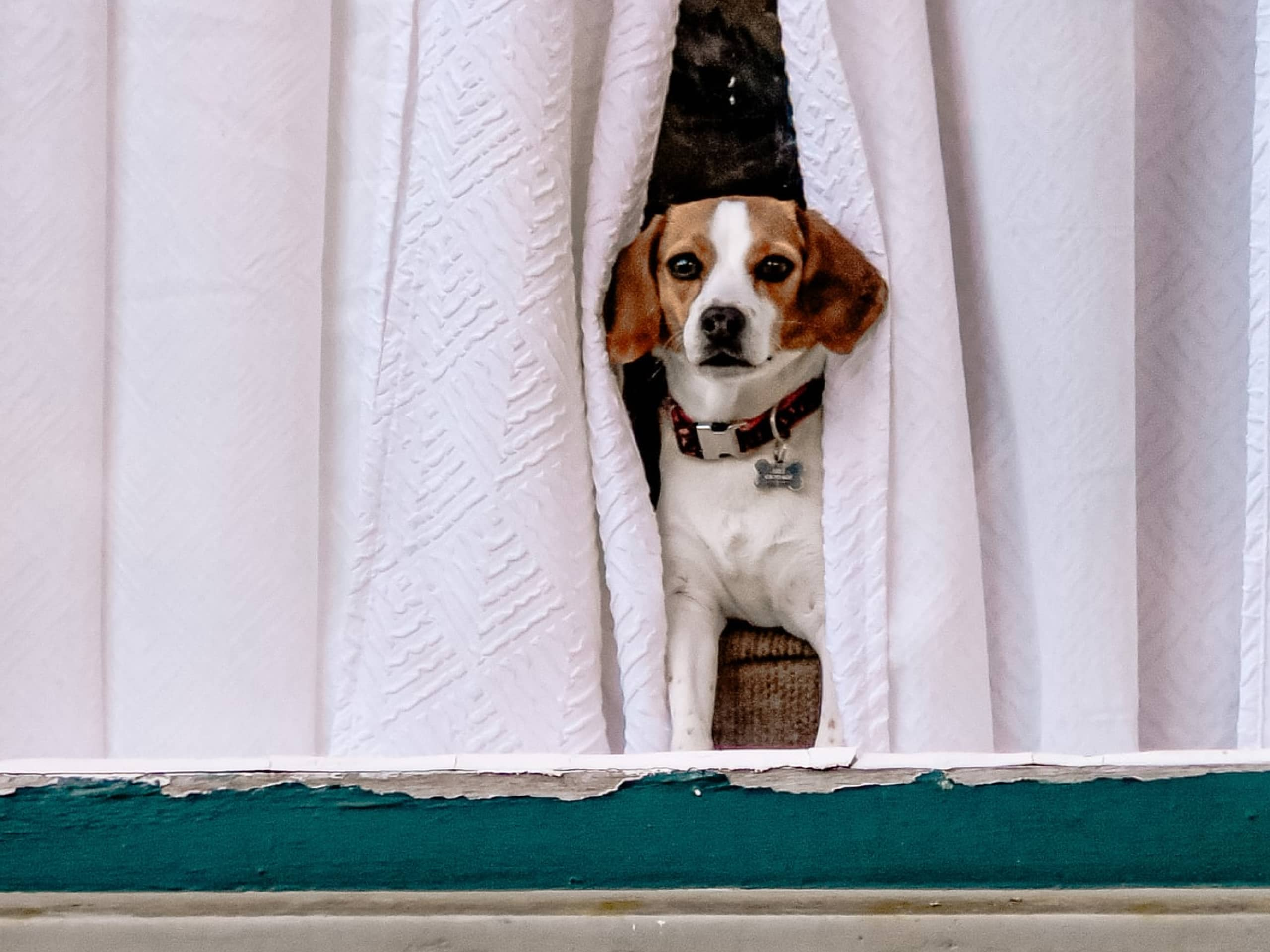 Beagle looking out of curtains through a window.