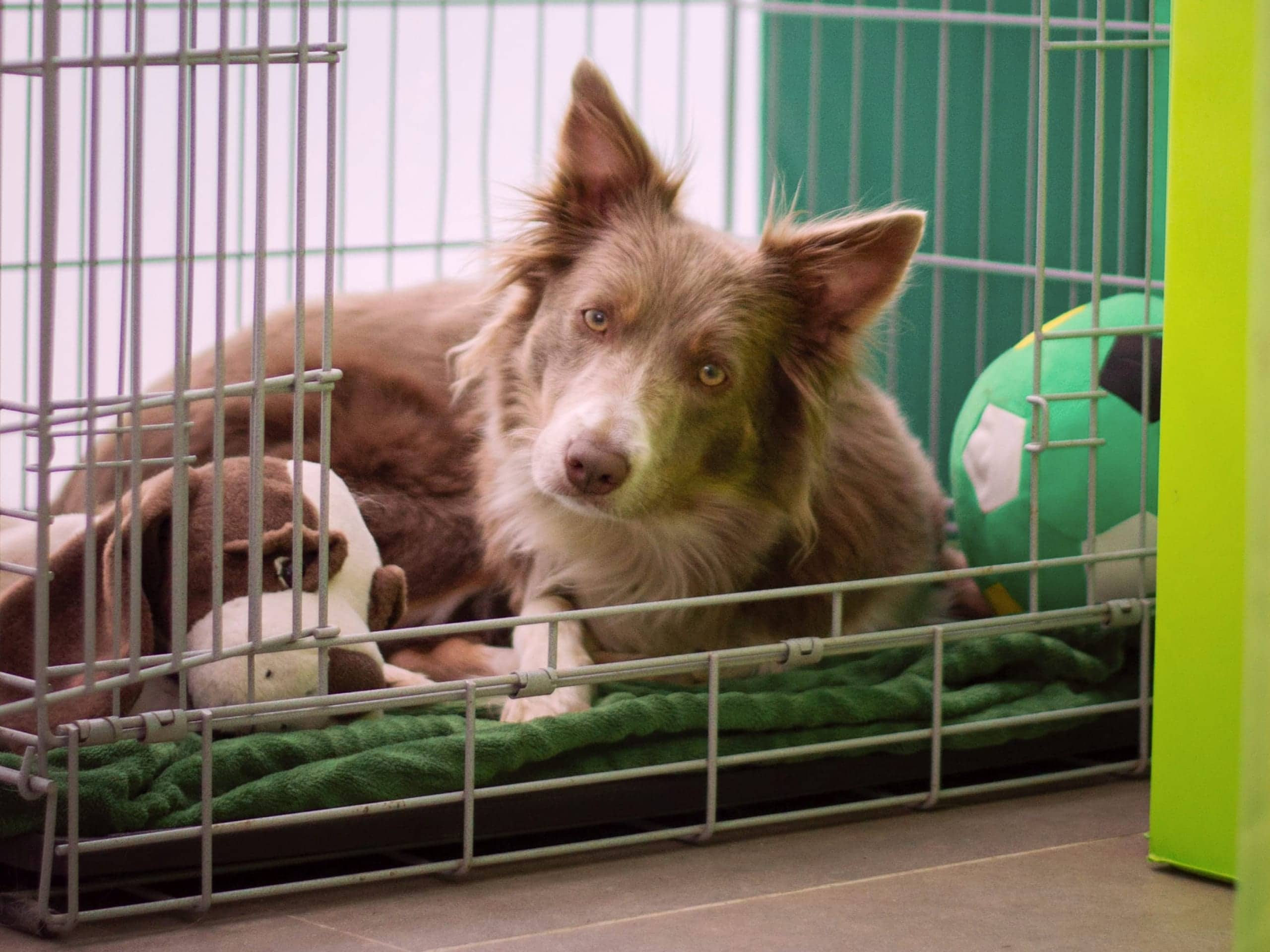 Brown Australian Shepherd sitting in a crate with their toys around them.