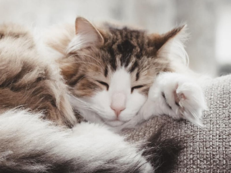 Grey and white cat sleeping on the couch.