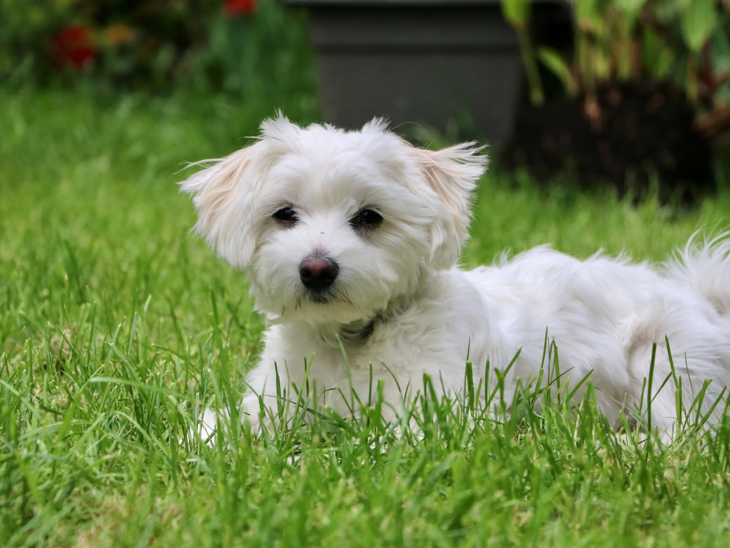 A white dog sitting in the grass.