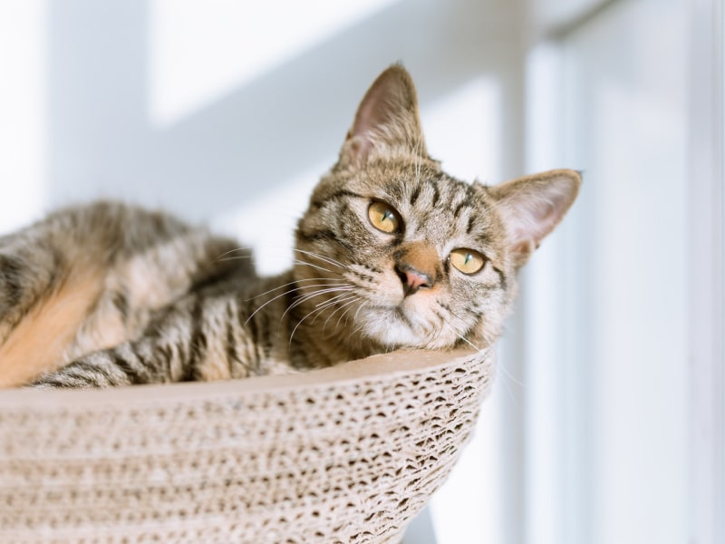 Brown cat sitting in a basket looking out the window.