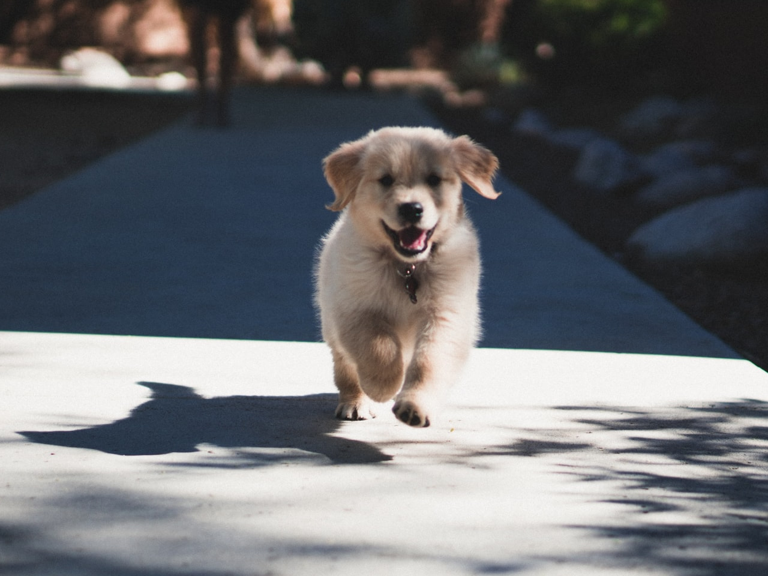 A golden retriever puppy running towards the camera