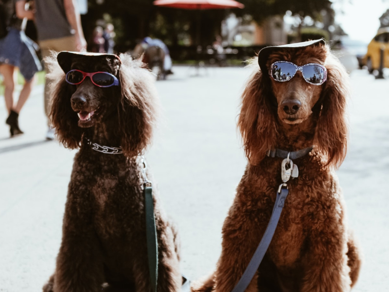 Two dogs sitting next to each other wearing sunglasses and hats