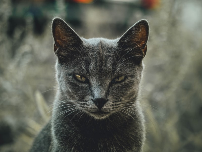 Grey cat glaring into the camera