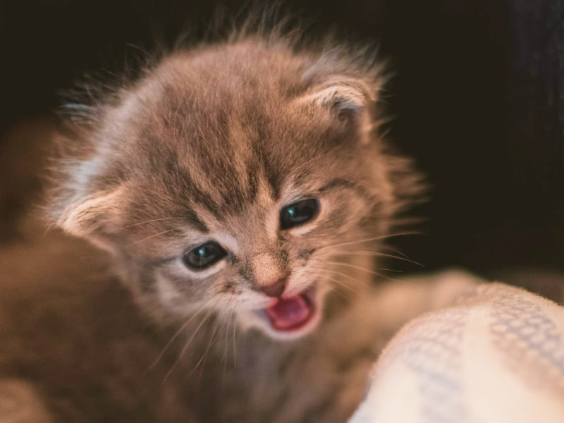 A kitten looking into the camera and meowing.