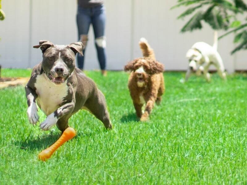 Dogs running through a field.
