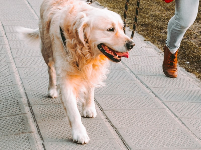Golden retriever walking on the pavement at sunset.
