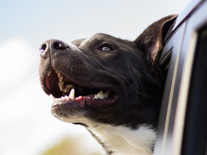 Dog looks out a car window.