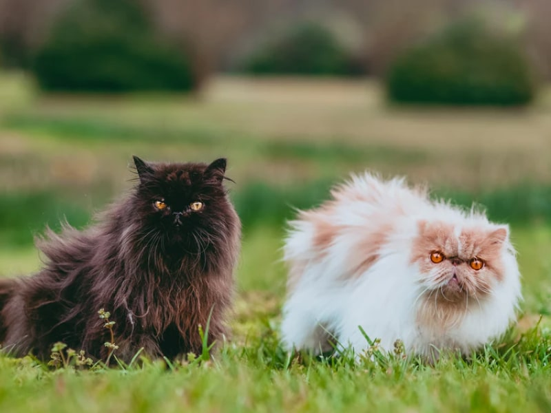 Three fluffy cats sitting in a field, looking into the camera.