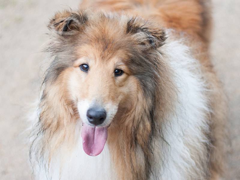 Dog with long, thick fur staring at the camera.