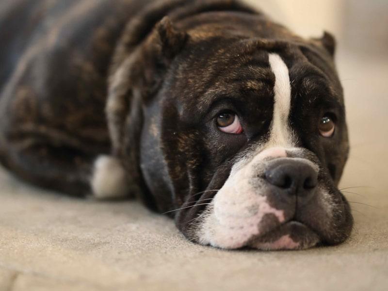 Can you give a dog tylenol, benadryl or ibuprofen