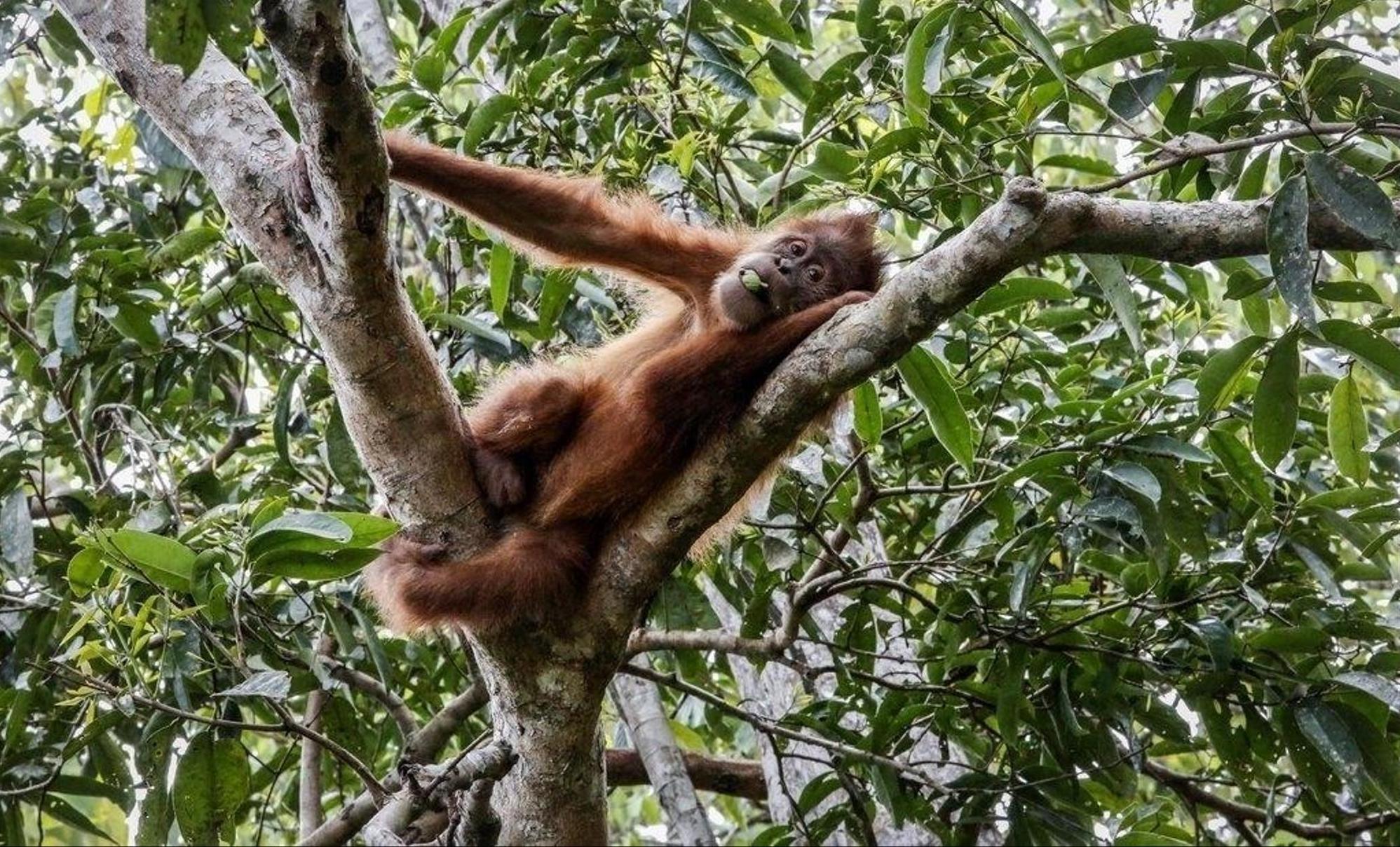Wenn Tropenwälder gerodet und in Palmöl-Plantagen umgewandelt werden, wird der Lebensraum tausender Tier- und Pflanzenarten vernichtet. Dieser Orang-Utan hatte Glück in eine Auffangstation zu kommen. epa/Hotli Simanjuntak