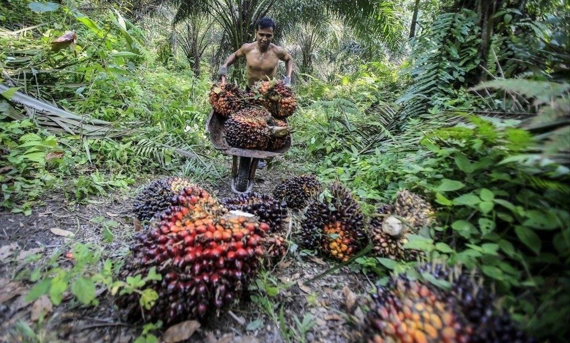 Ob in Nutella, Duschgel oder Kerzen: Als billiger Rohstoff ist Palmöl bei der Industrie begehrt und in zahlreichen Produkten des täglichen Bedarfs enthalten. 85 Prozent des Palmöls werden in Indonesien und Malaysia produziert. epa/Dedi Sinuhaji