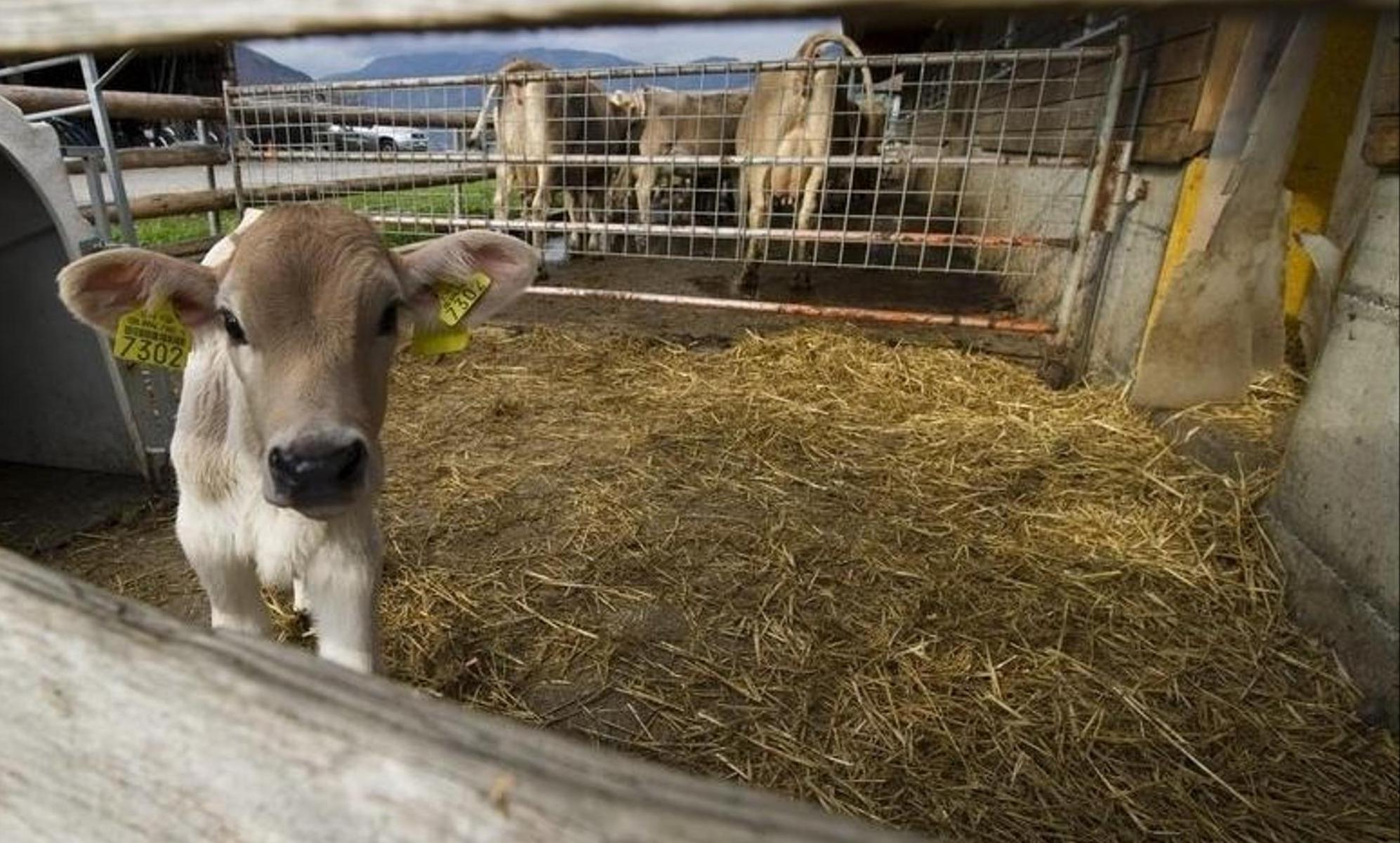 Typischerweise wird beim Anbau des Futters für die Tiere am meisten Energie eingesetzt. Es werden fast zwei Tonnen Milch und Heu benötigt, um ein Kalb mit rund 200 Kilogramm Lebendgewicht aufzuziehen. Keystone/Sigi Tischler