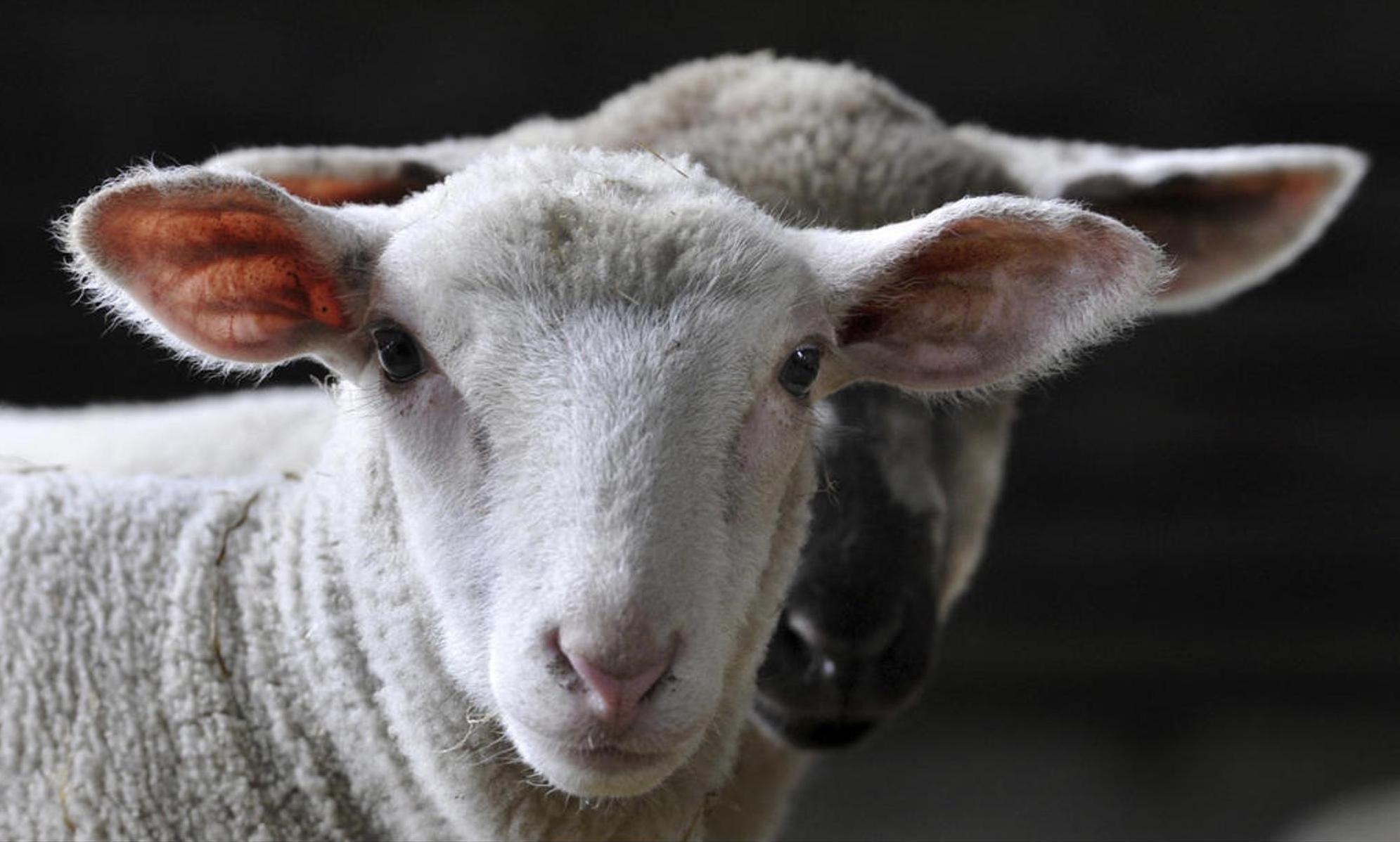 Laut «Business Insider» entstehen bei der Herstellung von einem Kilo Lammfleisch bis zu 39 kg an CO2-Emissionen. Der CO2-Ausstoss dürfte bei Schweizer Produkten etwas tiefer liegen, da lange Transportwege im In- und Ausland wegfallen. M. Rietschel