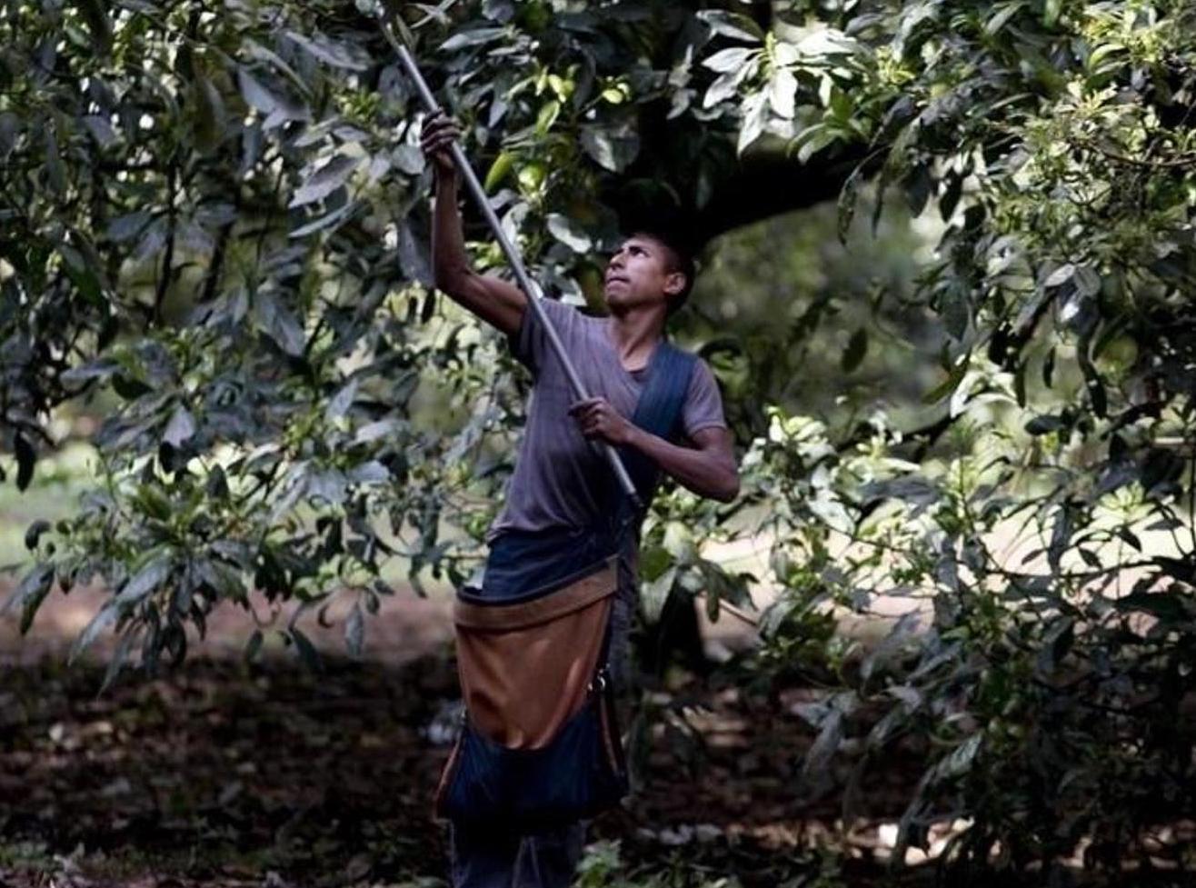 Im weltgrössten Anbauland Mexiko führt der Avocado-Hype zu illegaler Abholzung. Jedes Jahr werden laut «Huffington Post» 1500 bis 4000 Hektaren Wald gerodet, um Platz für Avocado-Felder zu schaffen. AP/Eduardo Verdugo