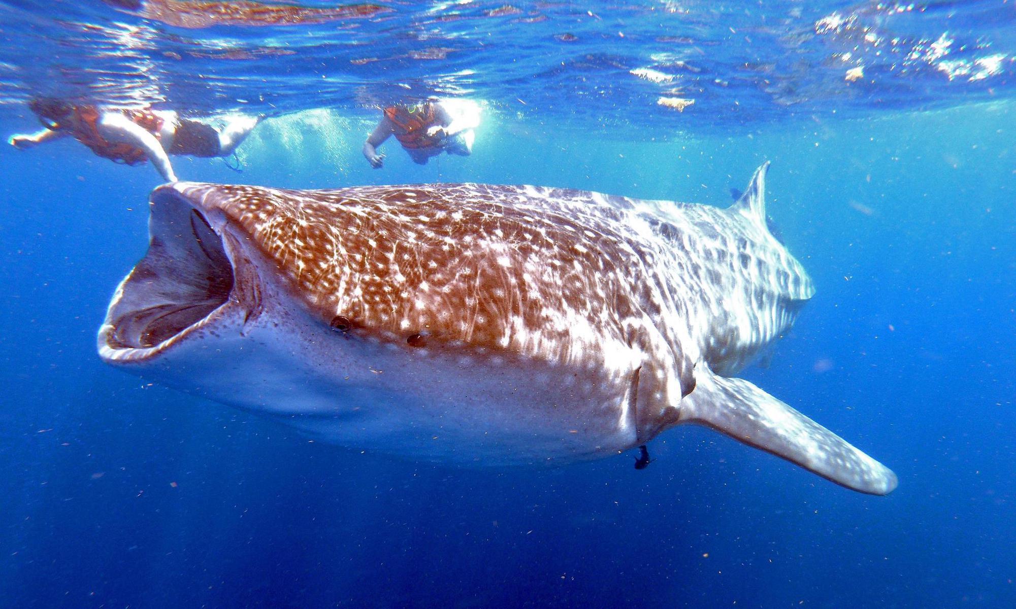 Über die Hälfte der Tierwarten wie hier der Walhai könnten von der Bildfläche verschwinden. AFP