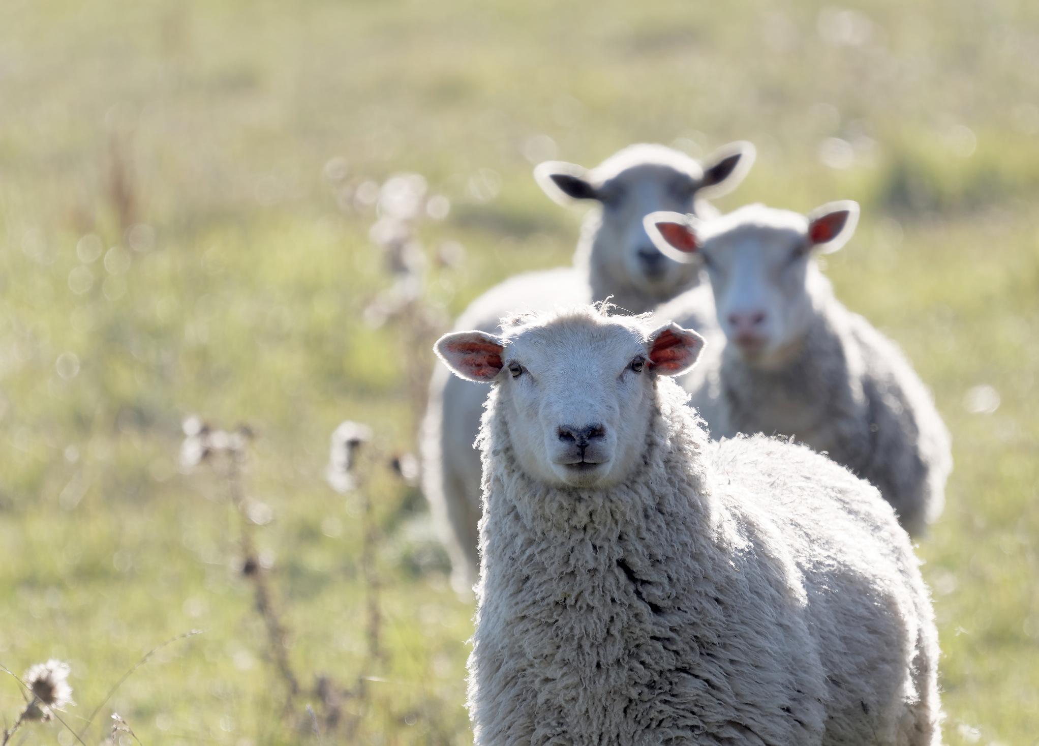 Dabei spielen natürliche und biobasierte Rohstoffe wie Schafswolle...