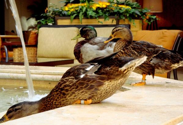 Peabody Ducks