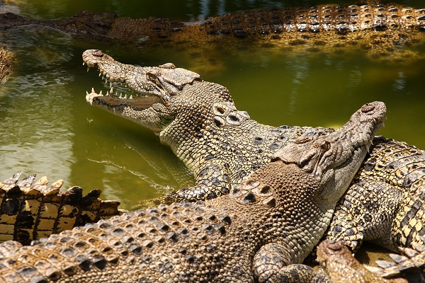 Darwin Crocodiles