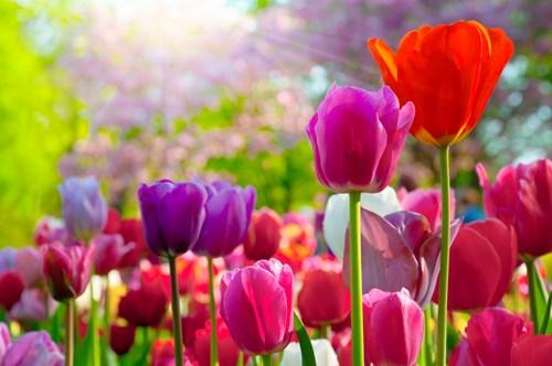 Amsterdam Tulip Field