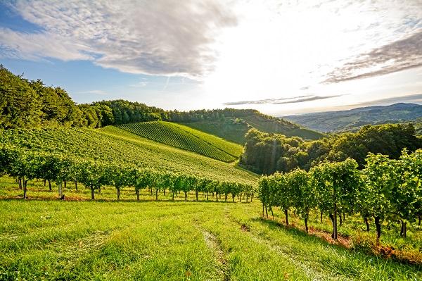 Burgundy Vinyard