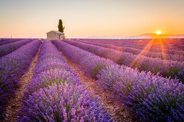 Valensole Lavender Field