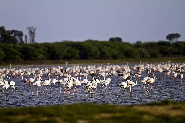 Flamingos India