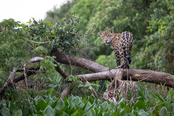 Jaguar Brazil