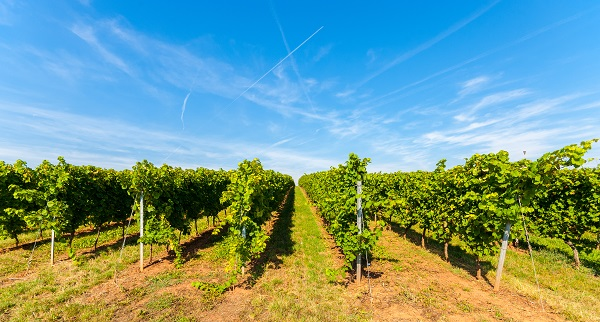 Vineyards of the Rhinehessen