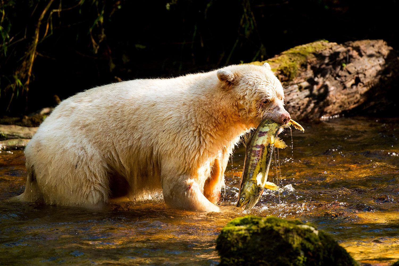 Fishing with Spirit Bears