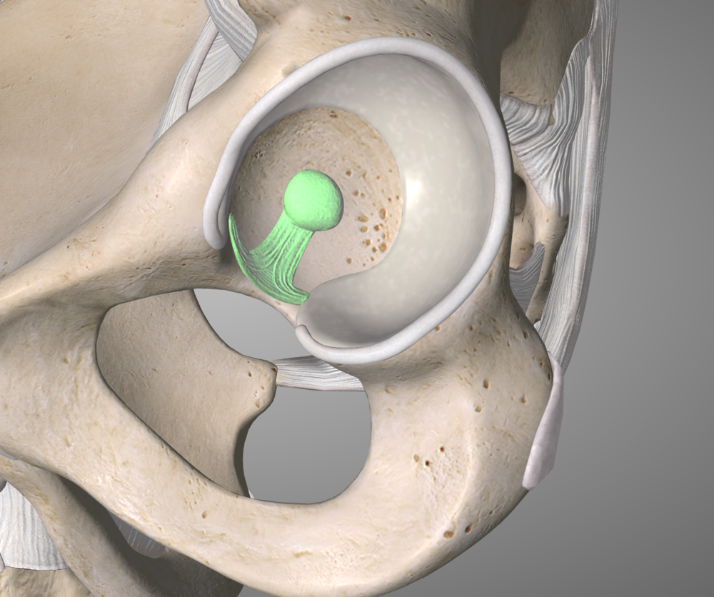 The Ligamentum Teres sits inside the acetabulum and keeps the head of the femur firmly in the joint socket
